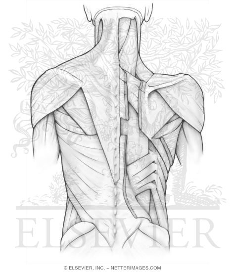 anatomy coloring pages muscles coloring pages now