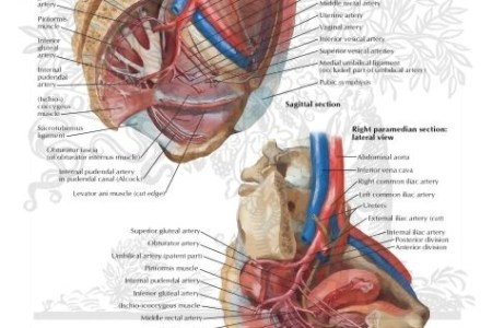 interior atlas of pelvic anatomy » Full HD Pictures [4K Ultra ...