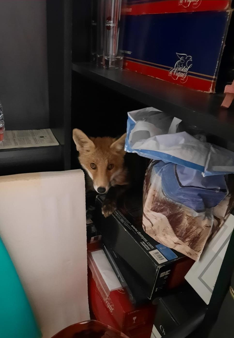Un renard caché dans un garage à Neuilly.