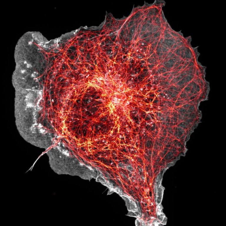 COS cell labeled for microtubules (orange) and actin (grey)