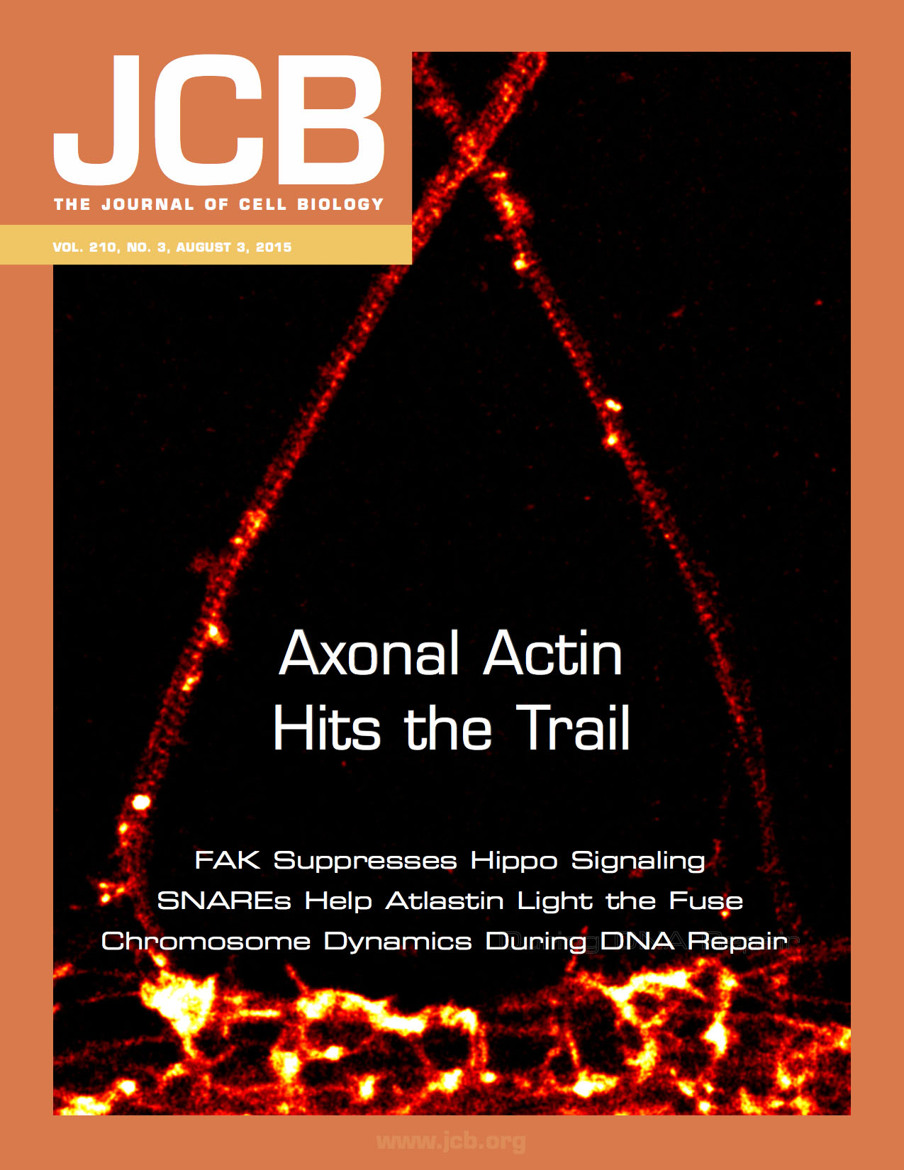STORM images of actin showing axons (top) contacting a dendrite (bottom), cover of J. Cell. Biol. August 2015 issue