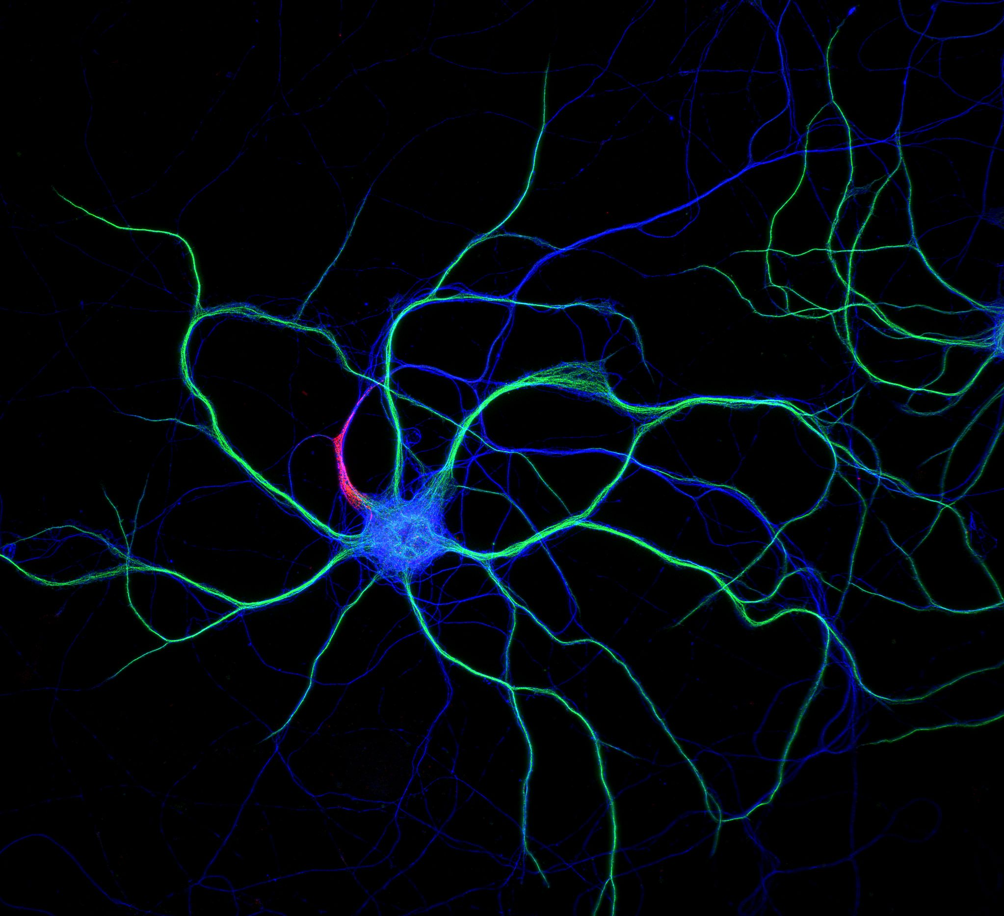 Hippocampal neuron stained for map2 (green), ß2-spectrin (blue) and  ß4-spectrin (red)