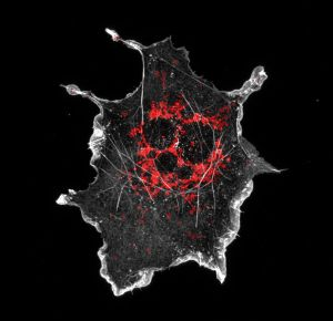 COS cell labeled for mitochondria (red) and actin (grey)