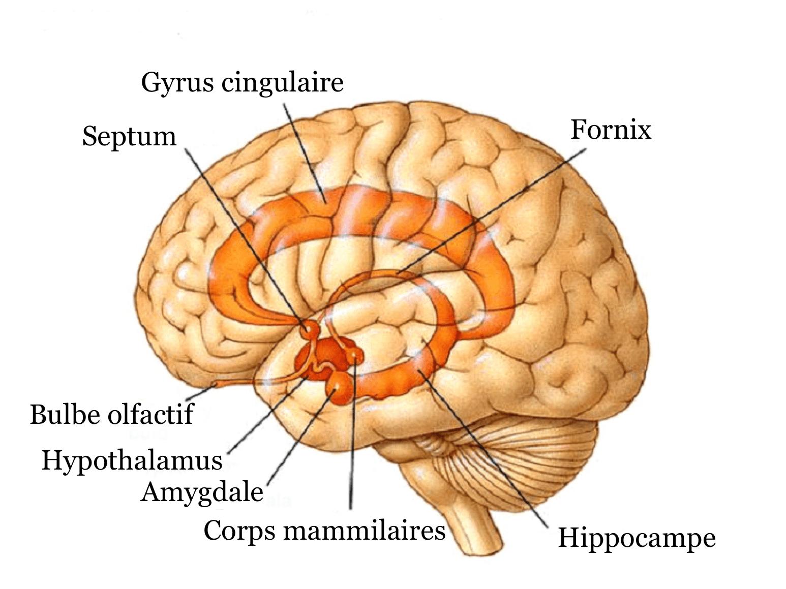 Systeme_limbique_1 - neuromedia.ca