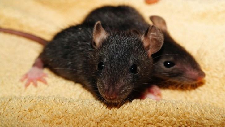 Las ratas pubertas y las drogas
