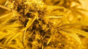 La ciencia de la Marihuana
