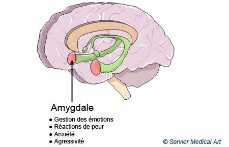 Rôle de l'amygdale