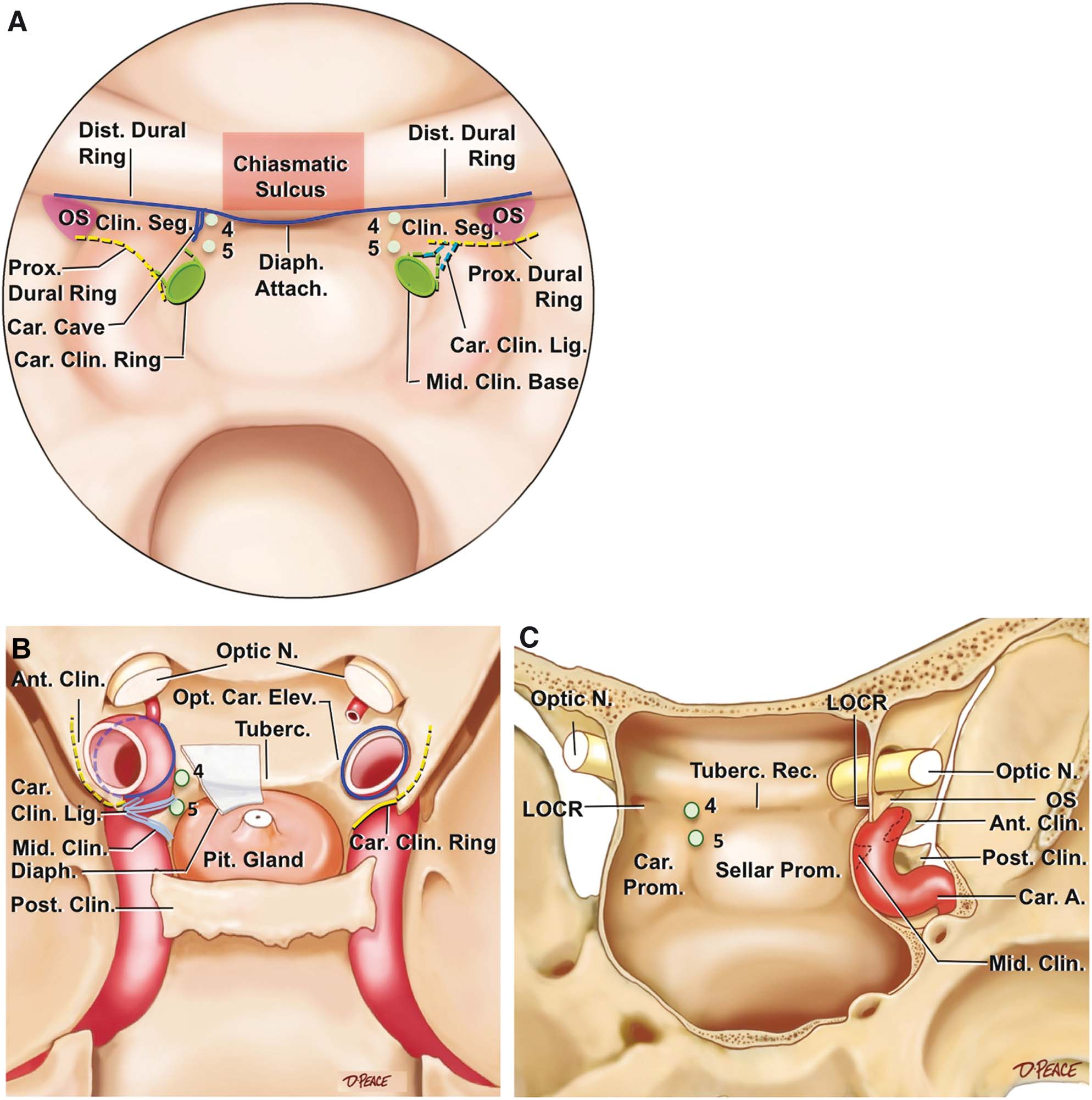 Anatomical Landmarks Worksheet