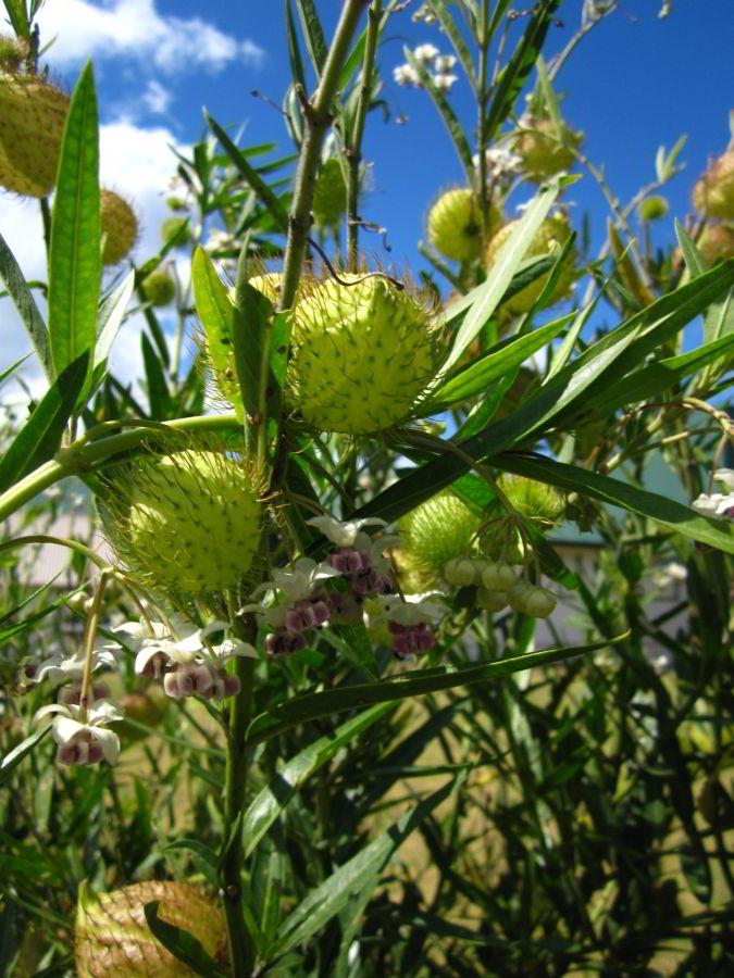 Früchte eines Strauchs