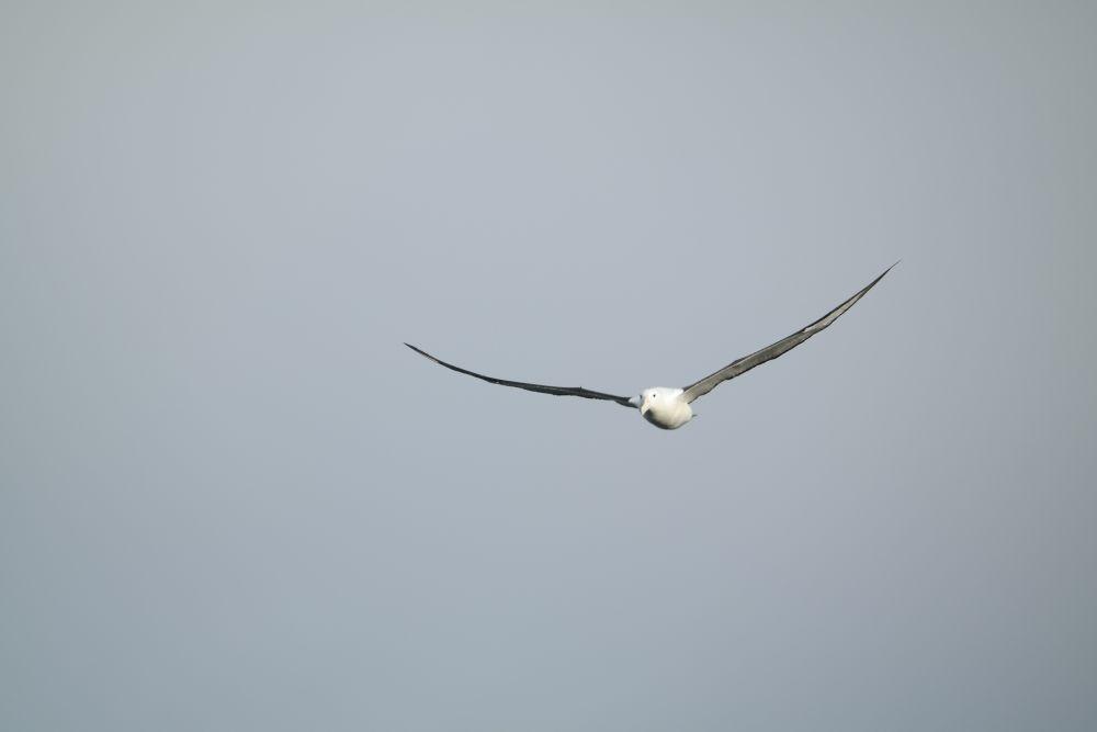 Achtung Albatros im Anflug