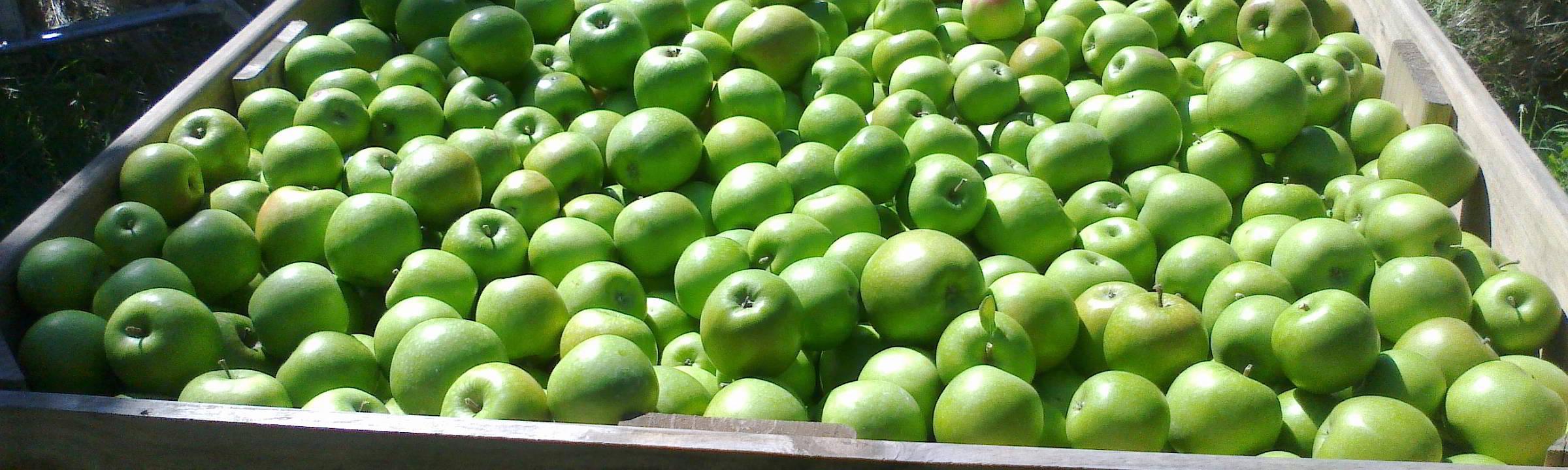 Apfelernte auf Neuseeland