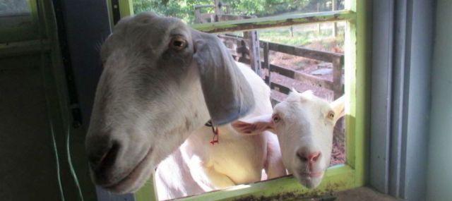 Nette Bekanntschaft auf einer wwoofing-Farm