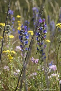 Alpine Flora am Arthur's Pass