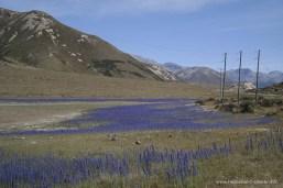 Lupinen am State Highway 73 Richtung Arthur's Pass