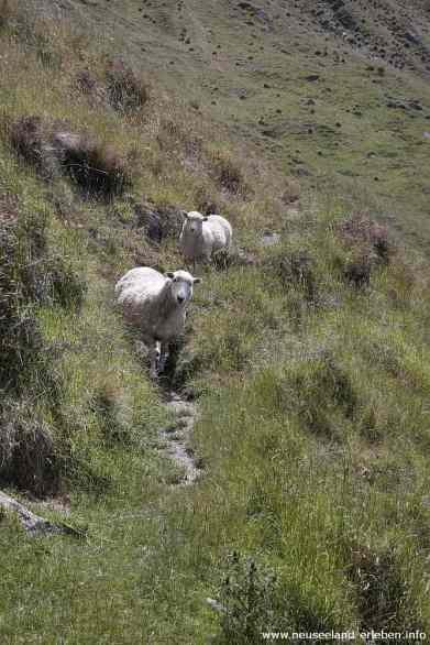 Neugierige Schafe am Hang