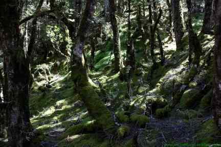 Verwunschener Wald am Haast Pass Lookout