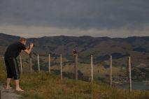 Ein Kiwi auf Akaroa