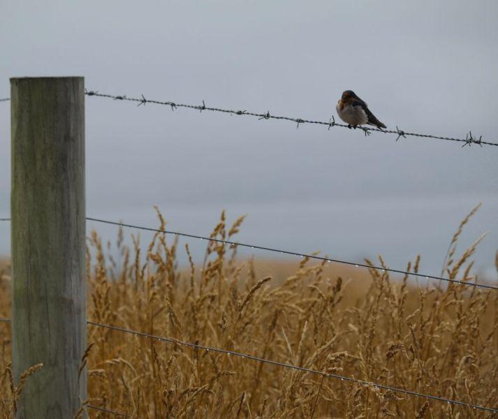 Ein Vogel istzt auf einer Hecke - Kaikoura Peninsula