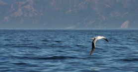 Ein Albatross fliegt über das Meer, Kaikoura Neuseeland