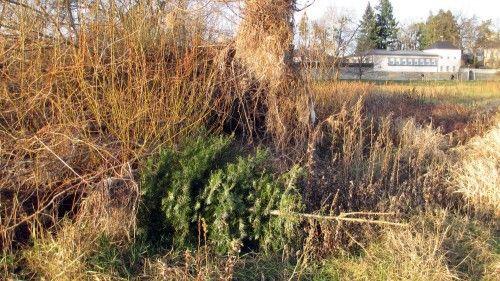 Gut getarnt und doch entdeckt: ausgesetzter Weihnachtsbaum an der Elbe