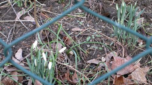 Vom Maschendraht eingerahmt: die ersten Schneeglöckchen