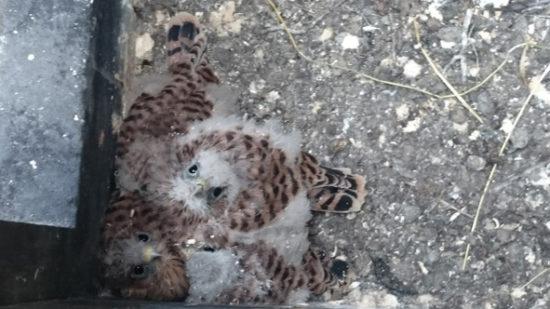 Die Turmfalken-Babys konnten gerettet werden. Foto: Kirchgemeinde