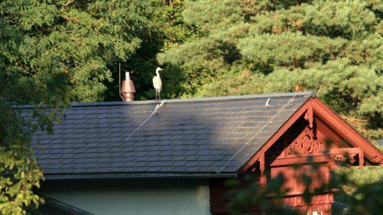 Graureiher auf dem Dach des Kraszewski-Museums - Foto: Karsten Selbig