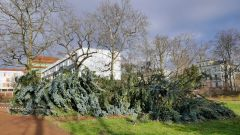 Umgestürzte Coloradotanne - der Baum war schon über 80 Jahre alt.