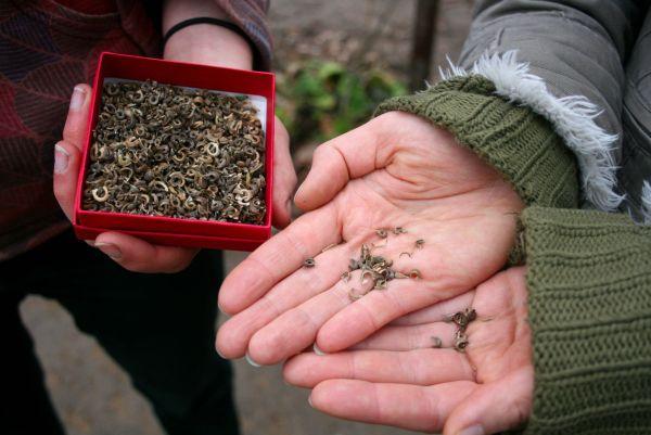 Die Welt der Samen ist vielfältig. Hier sind Ringelblumensamen zu sehen.
