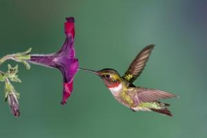 rubythroatedhummingbirdwpetunia-0d8df52b