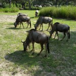 Wildebeest right next to our vehicle in Animal Kingdom!