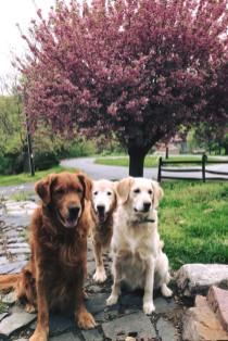 Bean, Q & Trooper sitting in front of flowering tree
