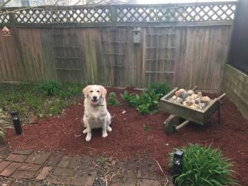 Q sitting in cleaned-up garden bed