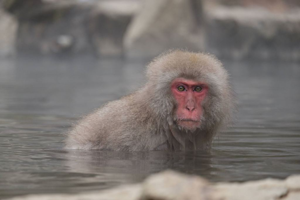 Japanese Snow Monkey 10
