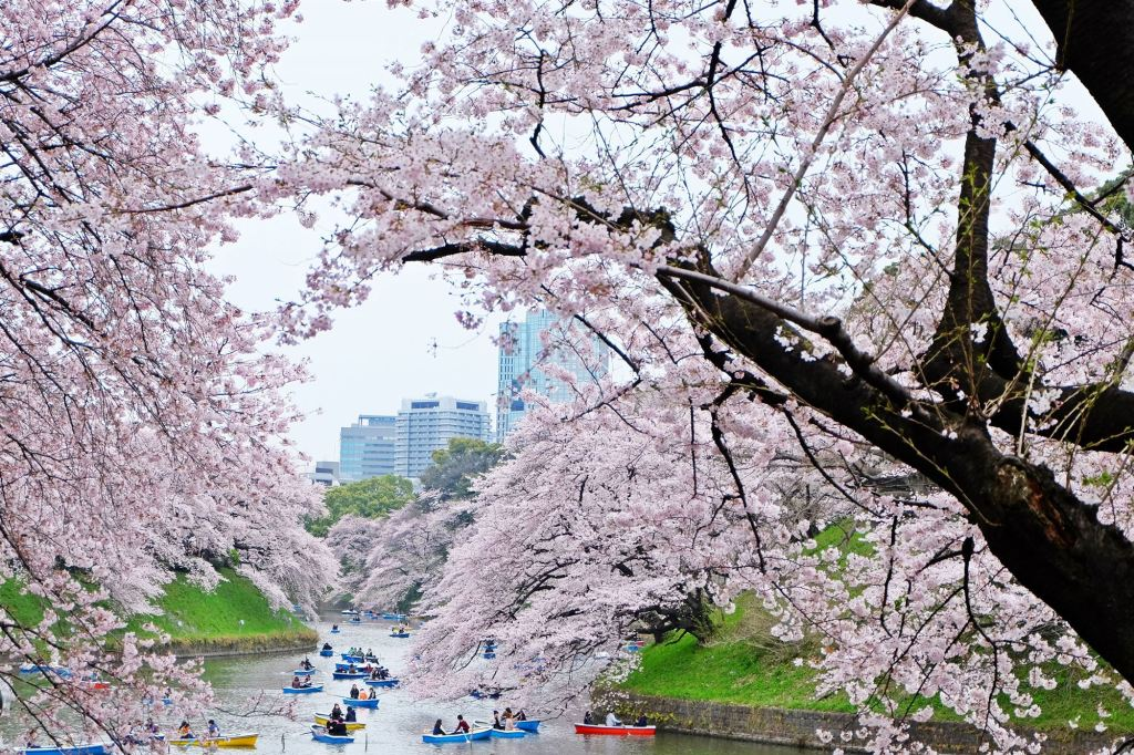 Tokyo  Sakura and many row boats