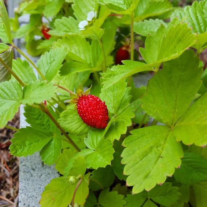 Regina Strawberry Plants