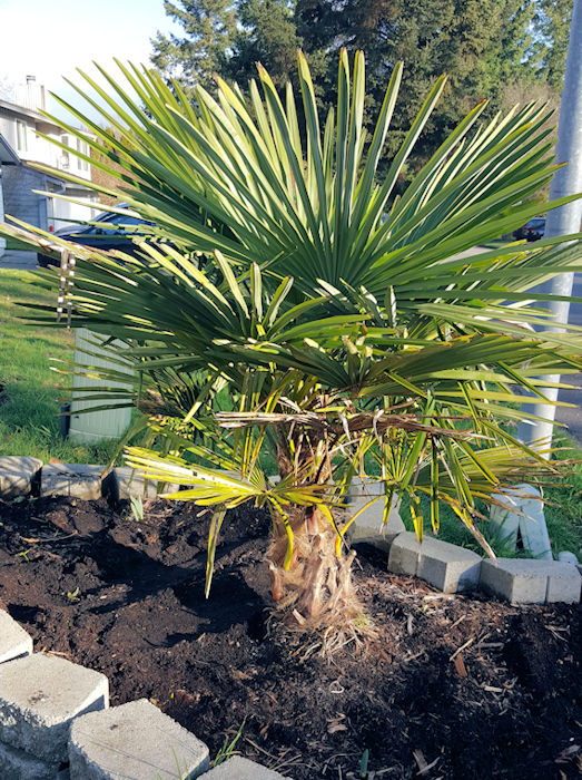 Palm tree thrives in the northwest?