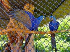 Loro Parque - Hyacinthine Macaws