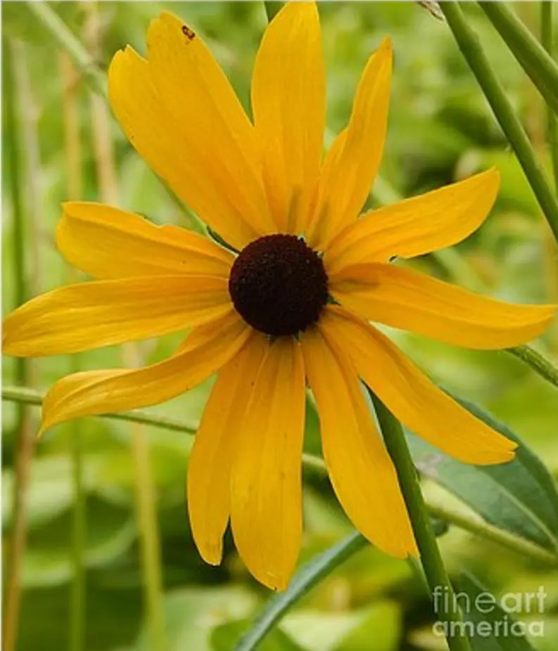 Black Eyed Susan Prints - Photography by Dave Nevue