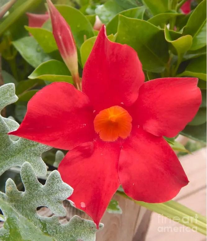 Mandeville Deep Red Flower Prints