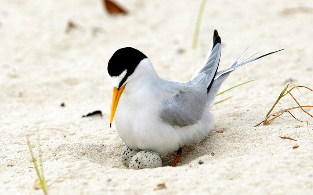 Recovered Midwestern bird soars off endangered species list – New Delhi Times