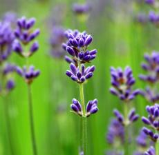 「lavender」の画像検索結果