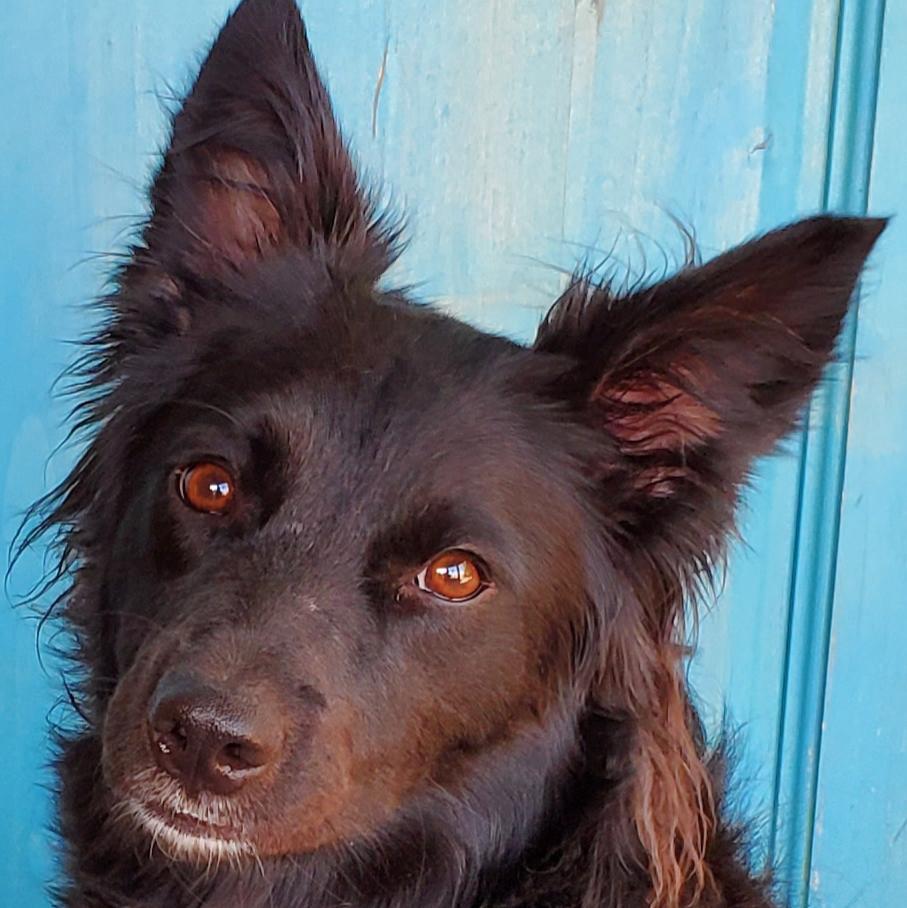 Collie Australian Shepherd Rescue Border Az
