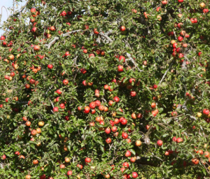 Tree Laden with Fruits