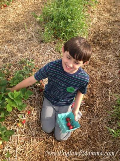 June is the best time to pick strawberries in New England. Get ready to be able to kneel down and pick many of these yummy berries!