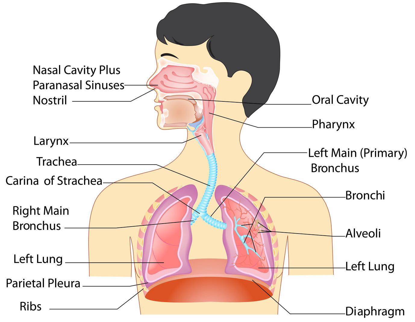 Project Human Anatomy Throat And Neck