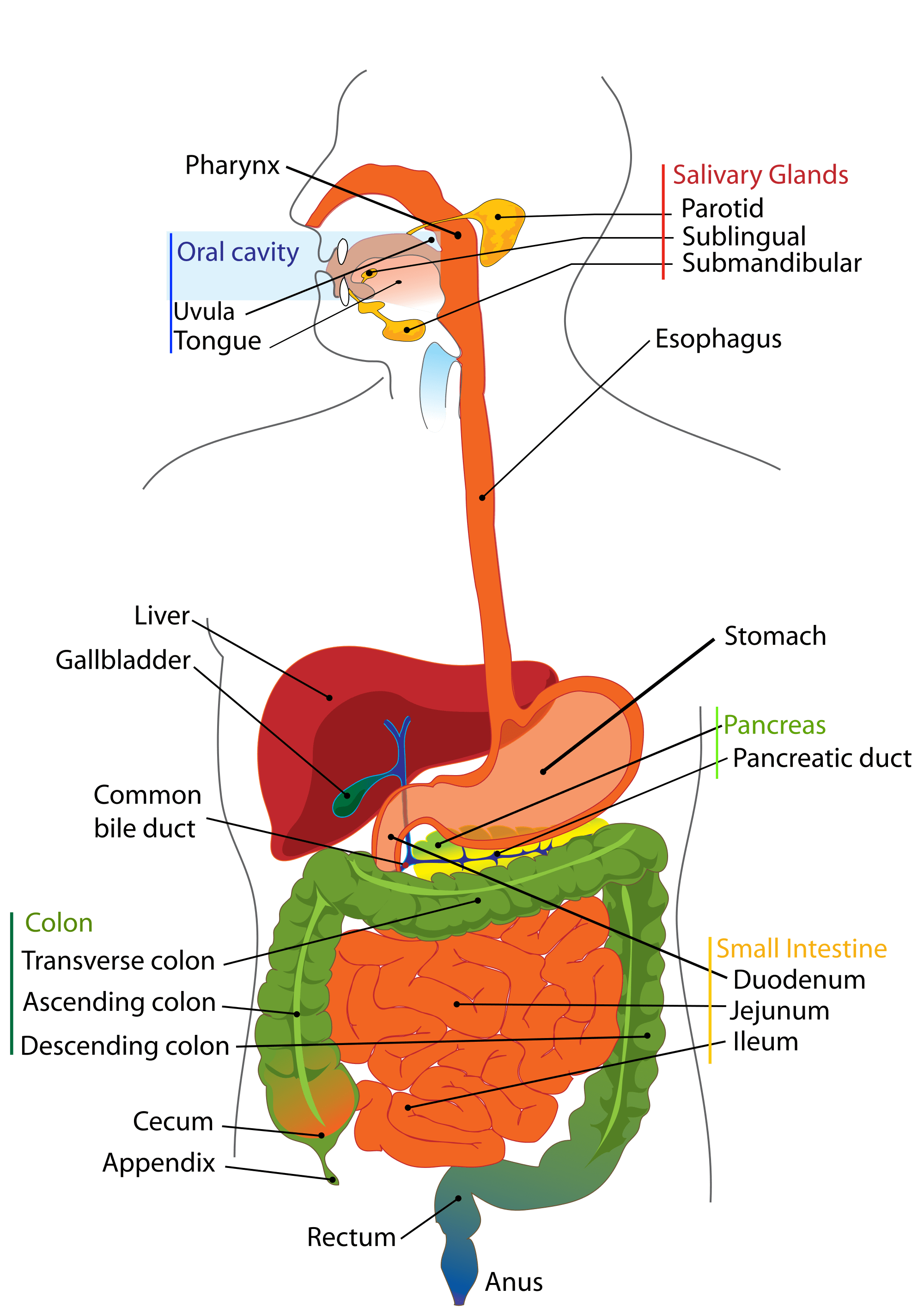 What Is The Order Of Digestive System And Functions Of