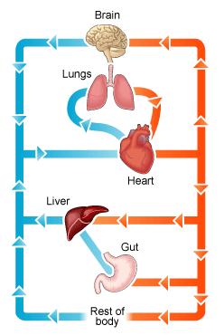 Circulatory System Diagram   New Health Advisor
