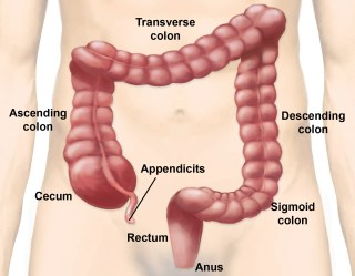 Image result for large intestines