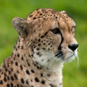 Cheetah Facts: 10 Interesting Facts about Cheetahs | Interesting Facts